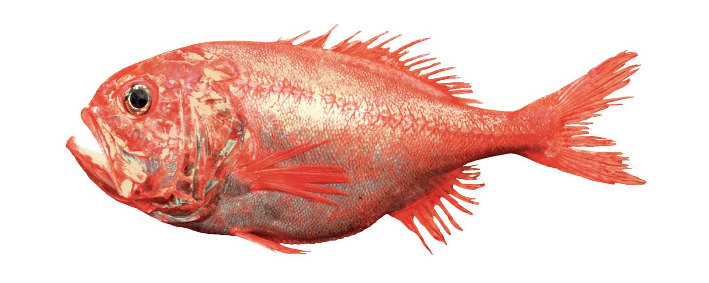 Orange-Roughy
