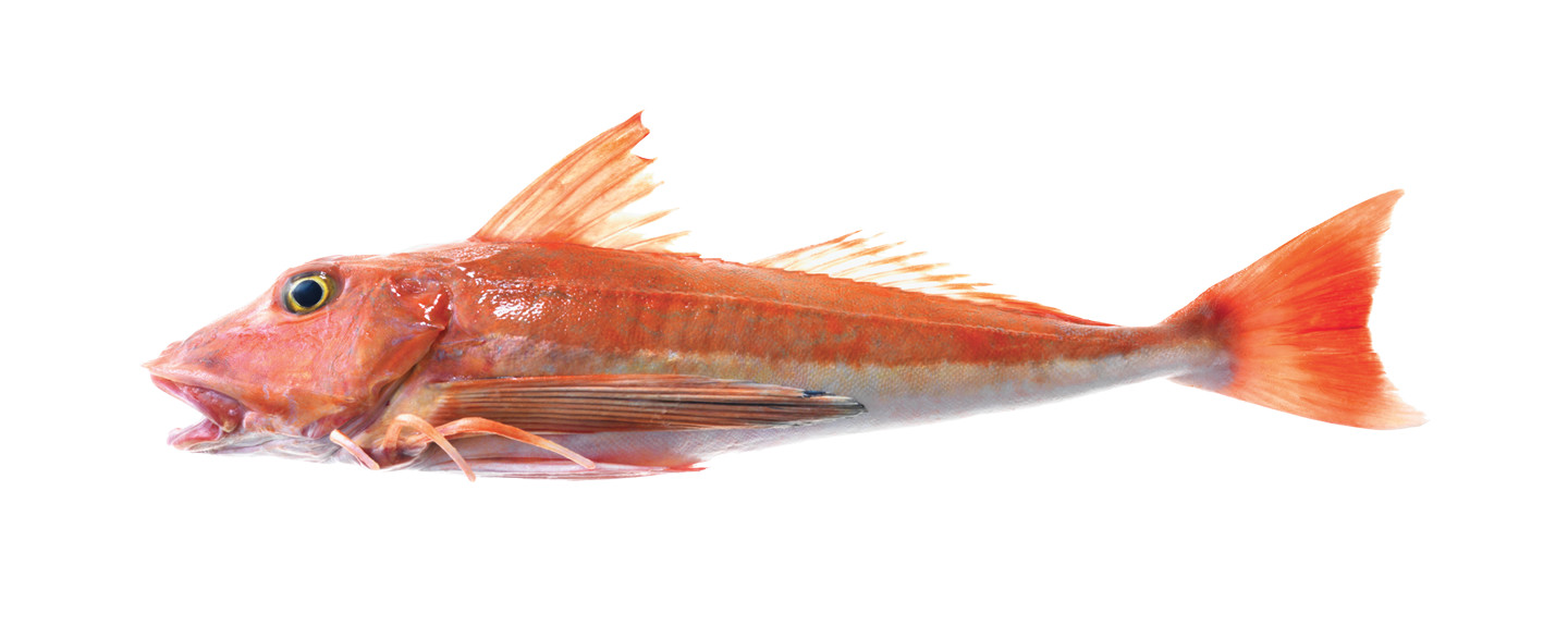 Red-Gurnard