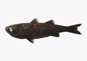 cardinalfish_1