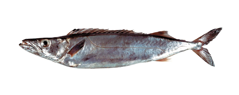 gemfish_2