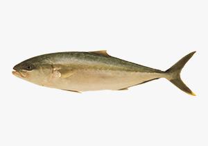 kingfish_1
