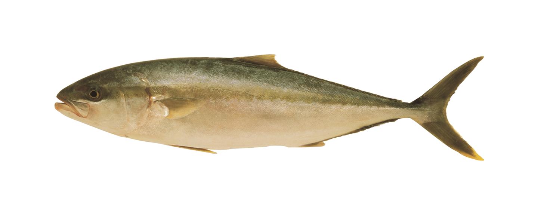kingfish_2
