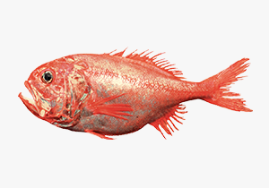 orange-roughy_1