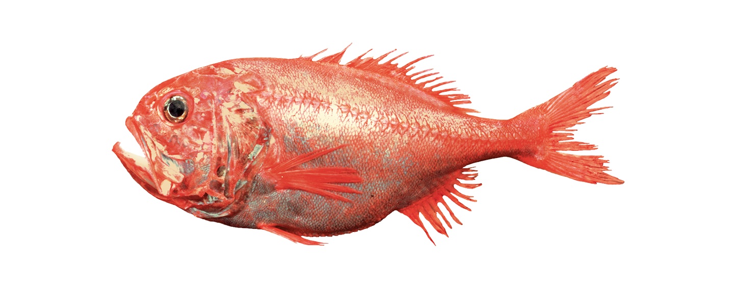 orange-roughy_2