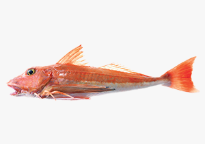red-gurnard_1