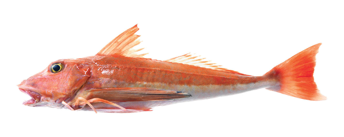 red-gurnard_2